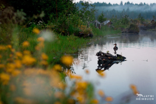 Female duck among Wildflowers and grasses at a pond. Beaver Creek, Brian Booth State Park, Oregon