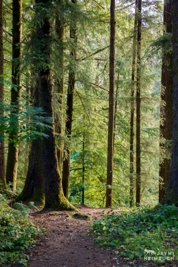 Oregon's coastal forests are home to Sitka spruce, western hemlock, redcedar, Douglas-fir, Alder and other tree species.
