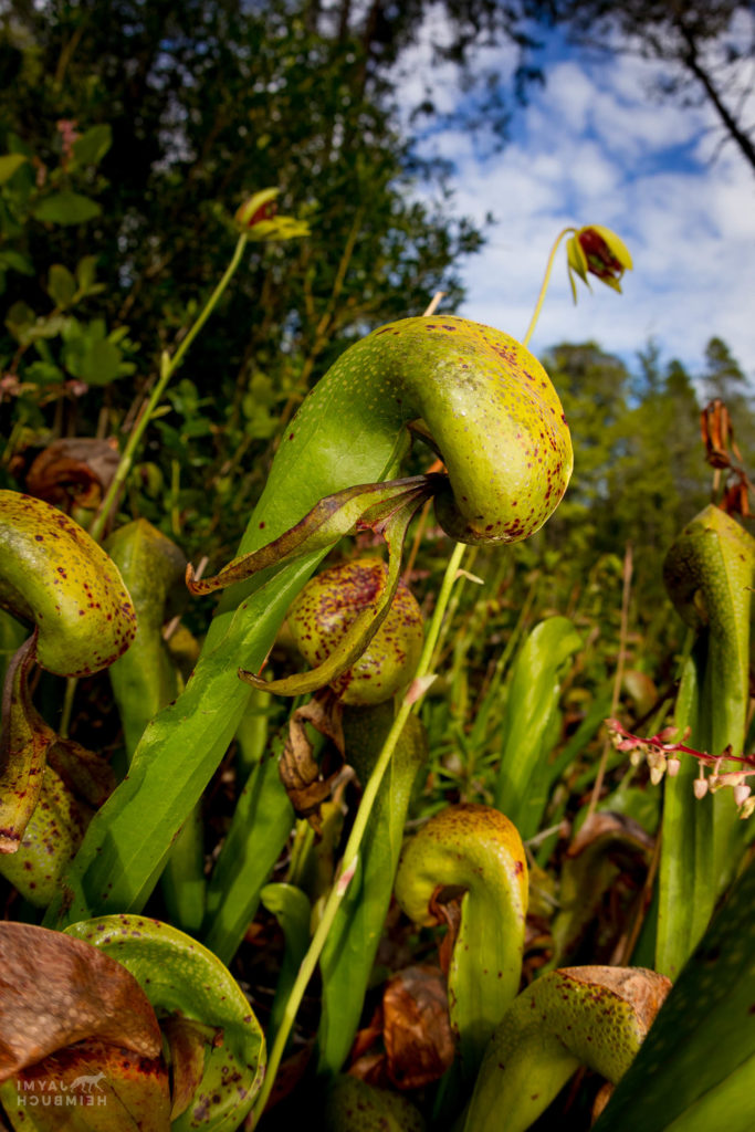 Darlingtonia californica, or the cobra lily, is a species of carnivorous pitcher plant. Darlingtonia State Natural Site is the only Oregon state park property dedicated to the protection of a single plant species. Oregon