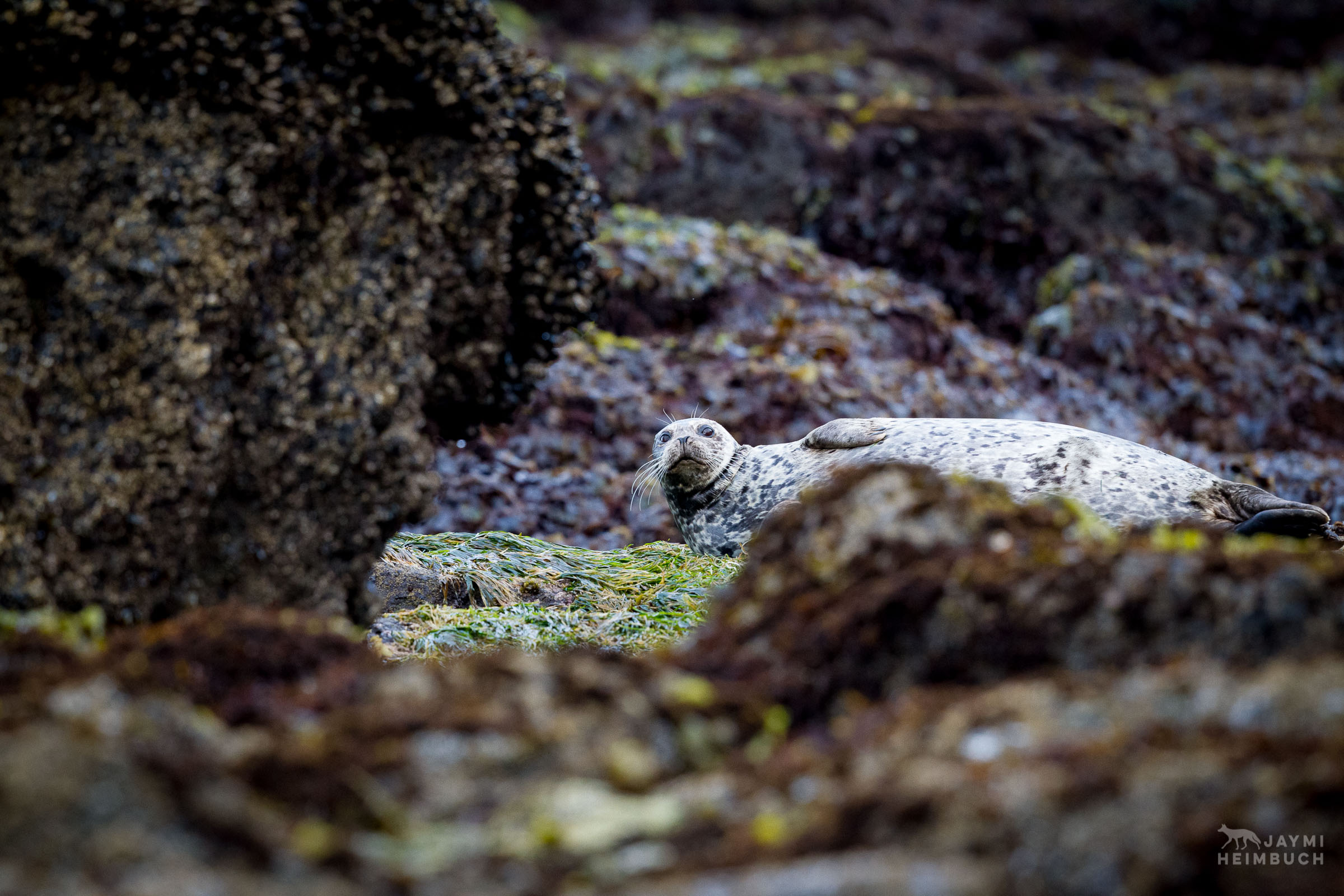 Harbor seal, Phoca vitulina, at rest in the rocky intertidal at low tide. Newport, Oregon