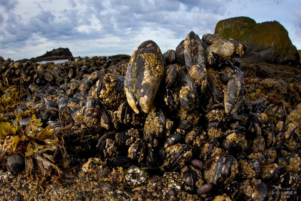 California mussels, Yaquina Head Outstanding Natural Area, Newport Oregon