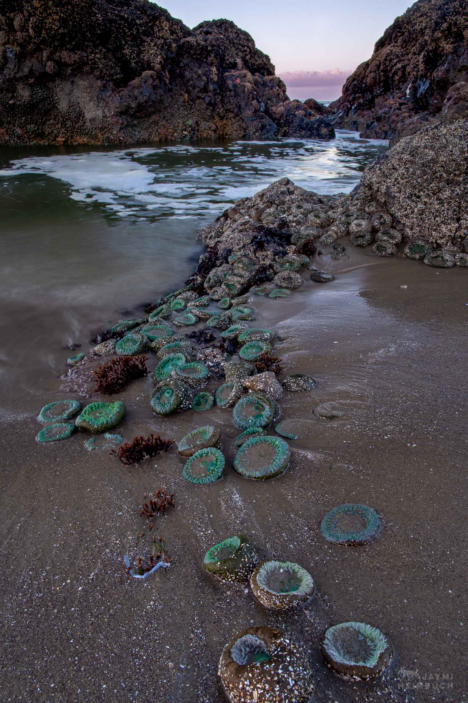 giant green sea anemones in sand at sunrise, rocky shore tide pool, seal rock, oregon