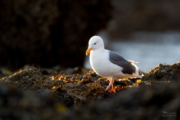 Western gull (Larus occidentalis), yaquina head newport oregon