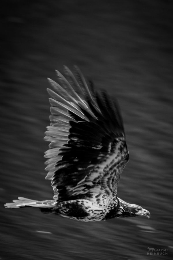 Juvenile bald eagle (Haliaeetus leucocephalus) in flight, Newport Oregon