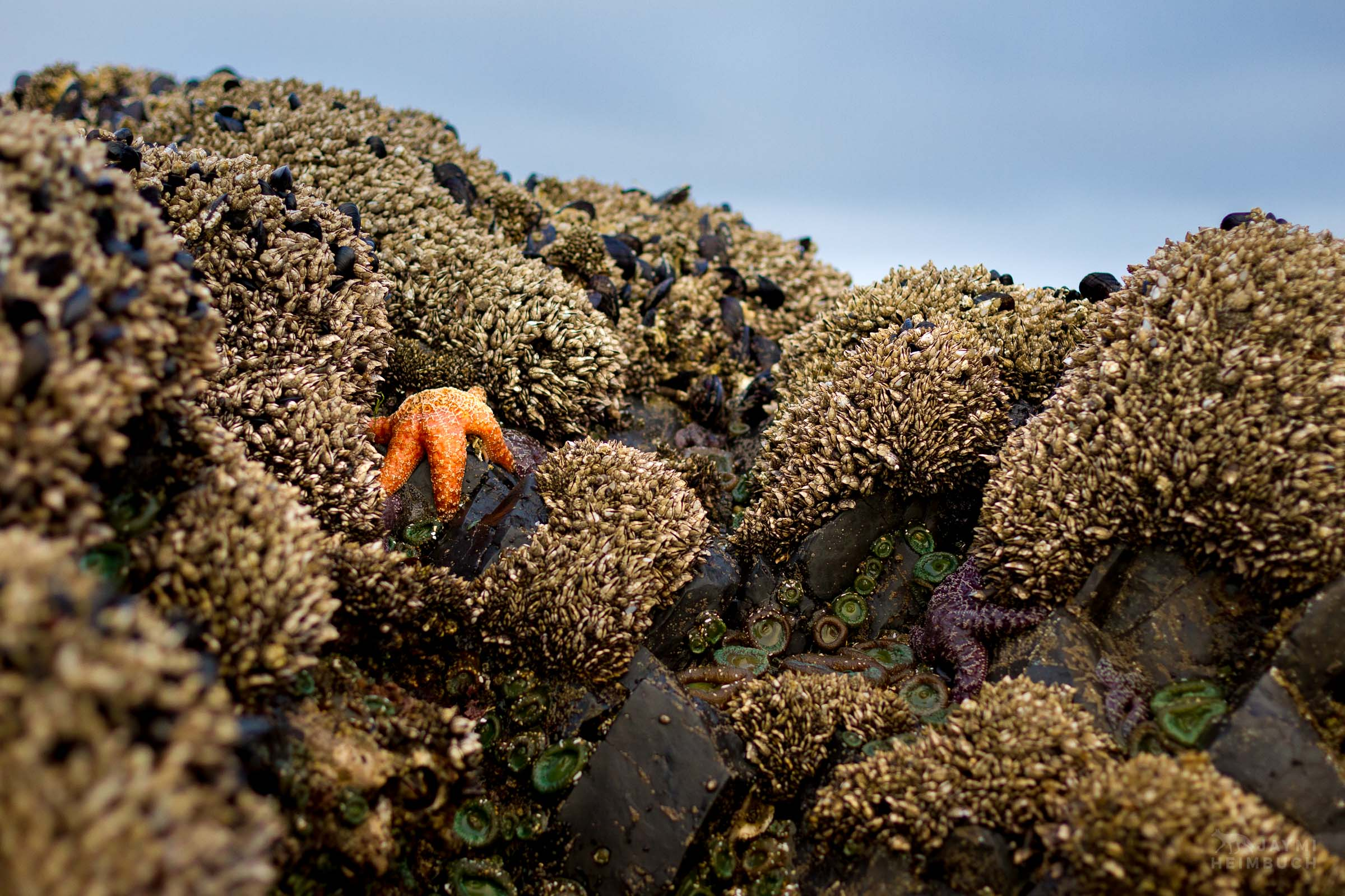 ochre sea star, seal rock, oregon