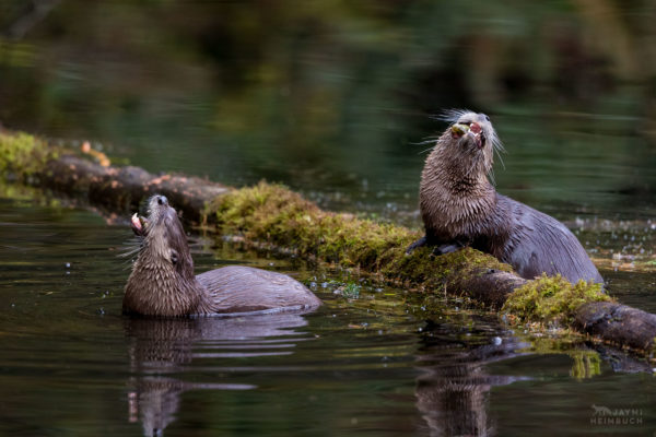 North American River Otter (Lontra canadensis) family eating fish at the water's edge, oregon