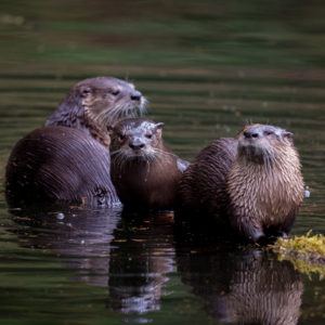 North American River Otter (Lontra canadensis) family at the water's edge, oregon