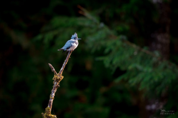belted kingfisher (Megaceryle alcyon) perched in forest setting, newport oregon
