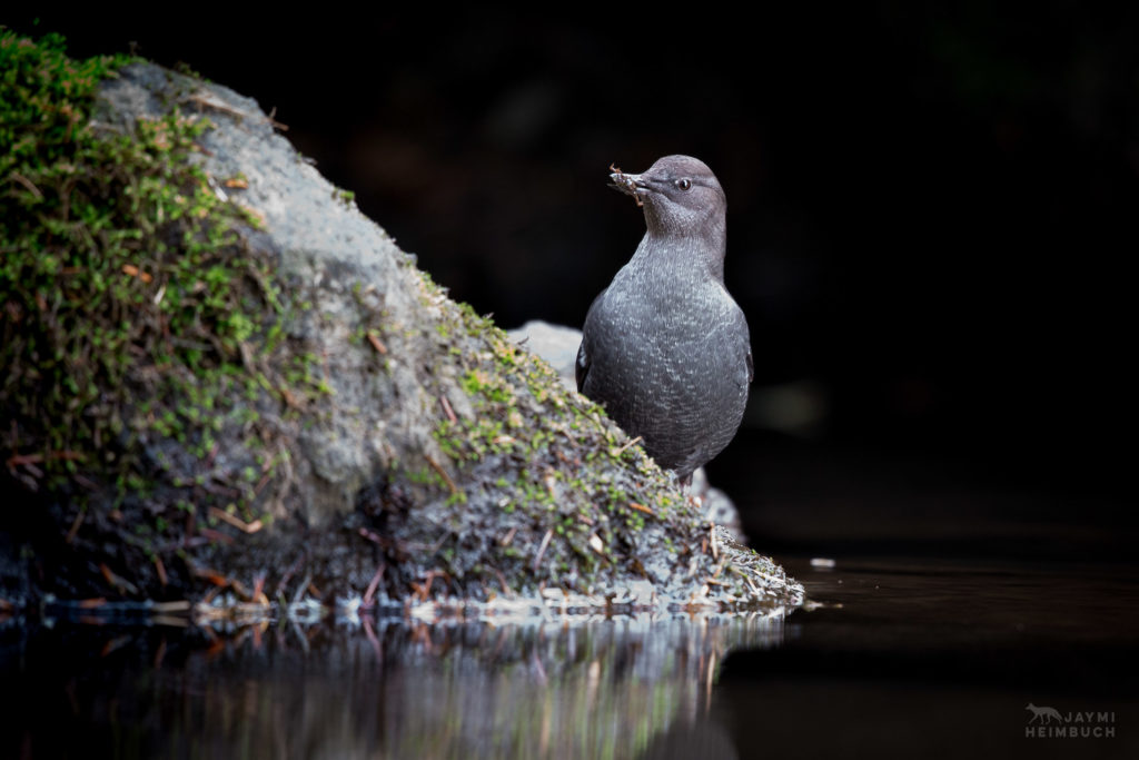 American dipper (Cinclus mexicanus), adult in central coast of Oregon