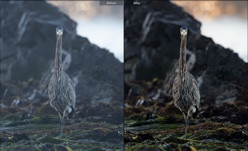lightroom improvements on a wildlife image