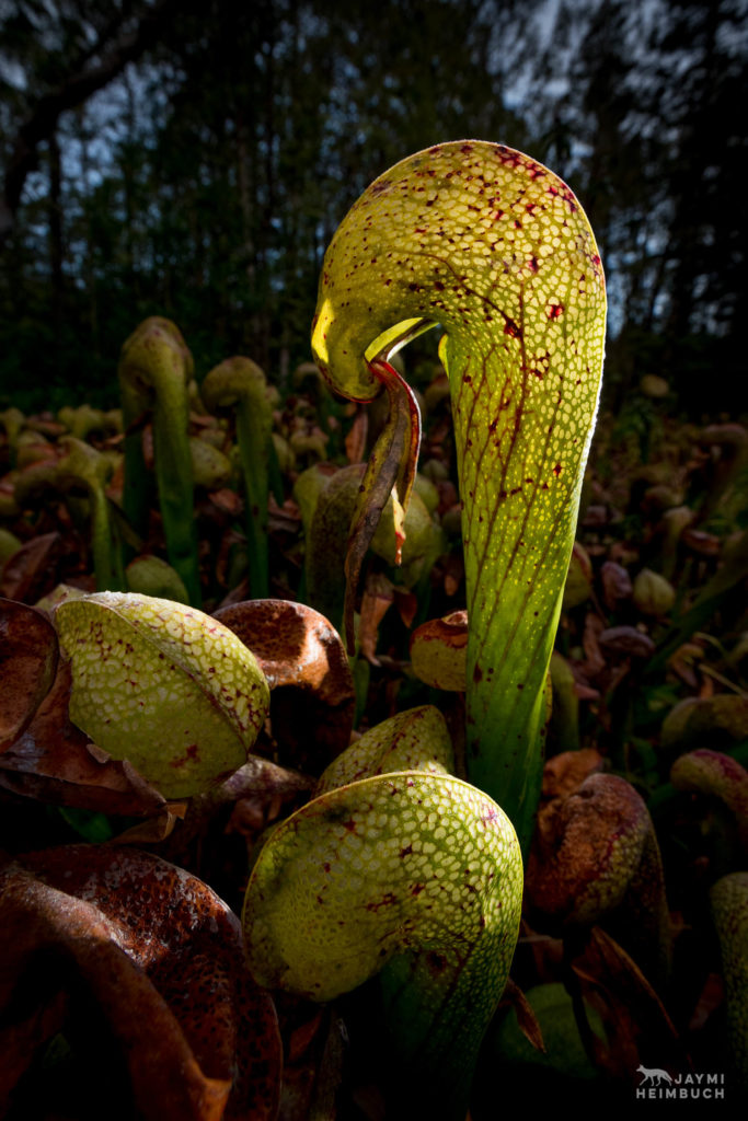 Darlingtonia Californica carnivorous pitcher plant, Florence Oregon