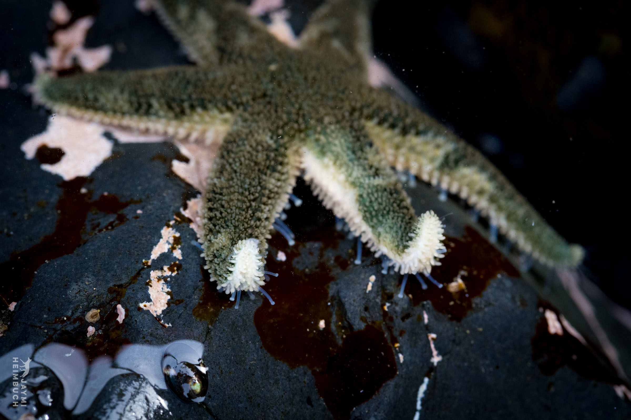 A delicate six-armed sea star (Leptasterias aequalis) showing off its tiny tube feet. Newport, Oregon